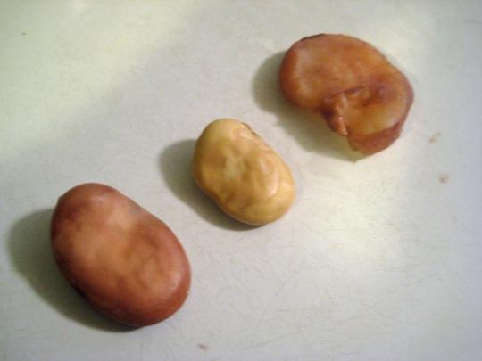 Fava Bean 3